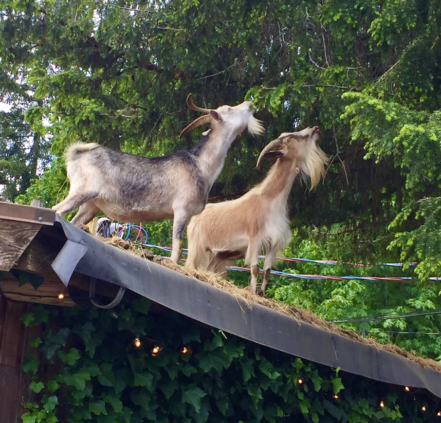 Two goats nibble on cedar trees from the sod roof at The Old Country Market at Coombs, Vancouver Island.