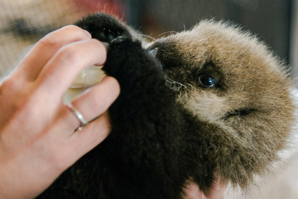 A baby sea otter is being bottle fed by a volunteer.