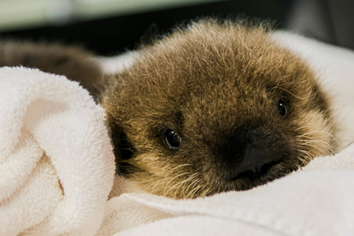 Baby Otter Cam star helping keep Vancouver Aquarium afloat